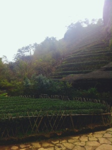A tea plantation producing mainly dark oolongs in the Wuyishan Scenic Reserve.